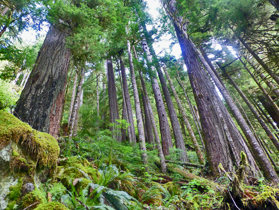 The South Fork Hoh Trail features old growth trees 10' in diameter and 300' tall